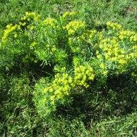 Zypressen Wolfsmilch, eine giftige Problempflanze in trockenen, extensiven Futterwiesen. Tipps zur Eindämmung.