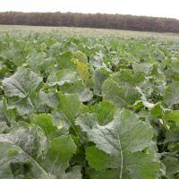 2019 Raschwüchsiges Zwischenfrucht-Feldfutter bei Dürre und Futternot