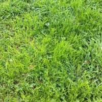 Gemeine Rispe und Timothegras jetzt in Futterwiesen leicht zu beobachten
