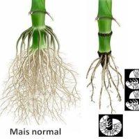 Engerlinge in Mais - wieviel geht?