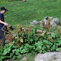 Almampfer, eine hartnäckige Pflanze. Tipps zur EINDÄMMUNG.cE