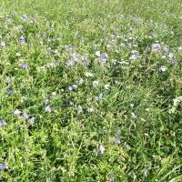 Storchschnabel, unbeliebtes Unkraut in Futterwiesen